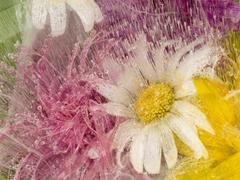 daisy delicate flower frozen in ice - stock photo