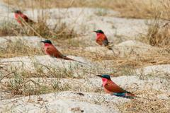 large nesting colony of Nothern Carmine Bee-eater - stock photo