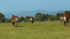 Sable Antelope Grazing in Field Stock Footage
