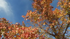 Autumn in forest maple leafs on wind Stock Footage