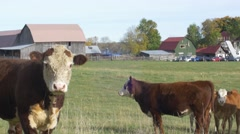 Bull protecting herd of cows on farm Stock Footage