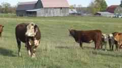 Pan across feild of cows on farm Stock Footage