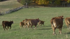 Cows running for the hills-literally Stock Footage