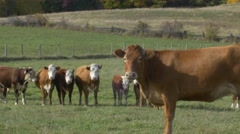 Cow in foreground with herd of cows behind in feild Stock Footage