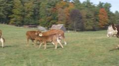 Cows run away in field Stock Footage