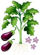 Eggplants with flower and roots - stock illustration