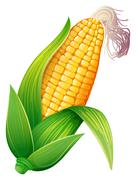 Fresh corn on the cob Stock Illustration