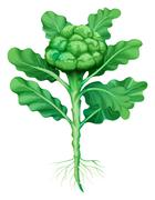 Broccoli with leaves and roots - stock illustration