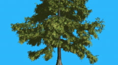 Alaska Cedar Evergreen Tree Is Swaying at The Wind Green Neddle-Like Leaves Are Stock Footage