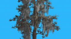 Bald Cypsess Taxodium Distichum Tall Thin Trunk Tree is Swaying Windy Day Stock Footage