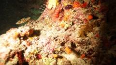 Lionfish (Pterois miles) Swimming near Bottom, Maldives Stock Footage