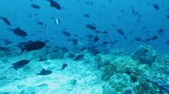 Background with  many Red-toothed Triggerfishes (Odonus niger), Maldives Stock Footage