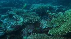 Yellow Chinese Trumpetfish (Aulostomus chinensis) Swimming near Bottom Stock Footage