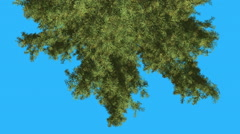 Alaska Cedar Top of Evergreen Tree Turned is Swaying at The Wind Green Tree Stock Footage