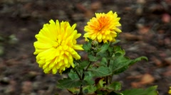 Autumn yellow flowers in the wind Stock Footage