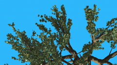 Cedar of Lebanon Top of Tree is Swaying at The Wind Green Tree Leaves Are Stock Footage