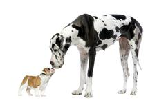 Great Dane looking at a French Bulldog puppy in front of a white background Stock Photos