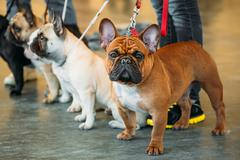 The French Bulldogs are different color next to each other Stock Photos