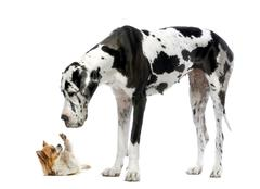 Great Dane looking at a Chihuahua in front of a white background - stock photo