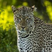 Close-up of a Leopard, Serengeti, Tanzania - stock photo