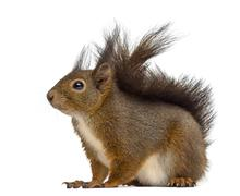 Red squirrel in front of a white background Stock Photos