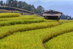 Cottage in middle of rice field with mountain background at Ban Pa Bong Piang Stock Photos