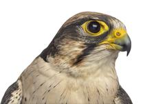 Close-up of a Lanner falcon - Falco biarmicus (7 years old) in front of a whi Stock Photos
