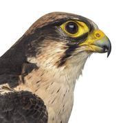 Close-up of a Lanner falcon - Falco biarmicus (7 years old) in front of a whi - stock photo
