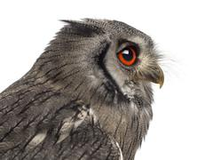 Close-up of a Northern white-faced owl - Ptilopsis leucotis (1 y - stock photo