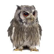 Northern white-faced owl - Ptilopsis leucotis (1 year old) in fr Stock Photos