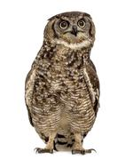 Spotted eagle-owl - Bubo africanus (4 years old) in front of a white backgrou Stock Photos
