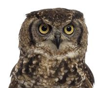Stock Photo of Close-up of a Spotted eagle-owl - Bubo africanus (4 years old) i