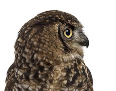 Close-up of a Spotted eagle-owl - Bubo africanus (4 years old) i - stock photo