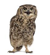 Stock Photo of Spotted eagle-owl - Bubo africanus (4 years old) in front of a white backgrou