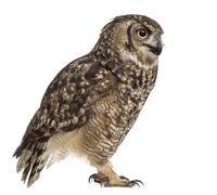 Spotted eagle-owl - Bubo africanus (4 years old) in front of a white backgrou - stock photo
