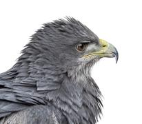 Close-up of a Chilean blue eagle - Geranoaetus melanoleucus (17 years old) in - stock photo