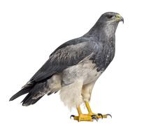 Chilean blue eagle - Geranoaetus melanoleucus (17 years old) in front of a wh - stock photo