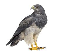 Chilean blue eagle - Geranoaetus melanoleucus (17 years old) in front of a wh Stock Photos
