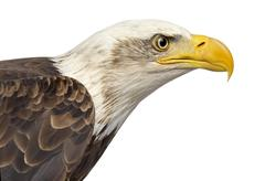 Close-up of a Bald eagle - Haliaeetus leucocephalus (12 years ol Stock Photos