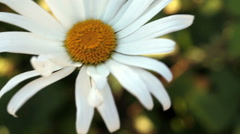 Single Daisy Flower Moving In The Wind Stock Footage