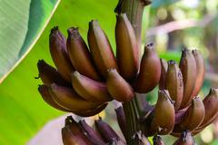 Stock Photo of Red banana, Musa Nak Musaceae, AAA group.