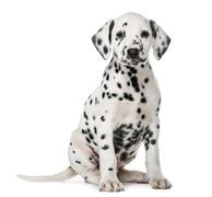 Stock Photo of Dalmatian puppy sitting in front of a white background