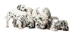 Group of Dalmatian puppies eating in front of a white background - stock photo