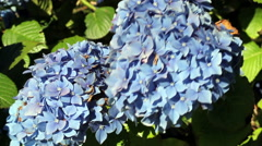 Hydrangea Flowers Moving In Wind Green Leaves - stock footage