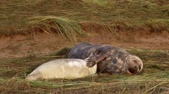 Grey Seal Cow and Pup. On a Beach. Donna Nook. Stock Footage