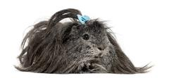 Hairy Guinea pig lying in front of a white background Stock Photos