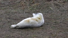 Grey Seal Pup in Grass Dune. Stock Footage