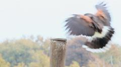 Harris hawk flying Stock Footage