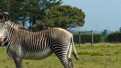 B Bryan Preserve zebras in field CLOSER - stock footage