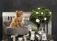 Spitz in front of a rustic background - stock photo